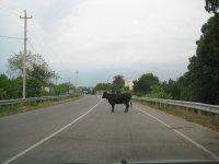 Почти на каждом шагу встречаются коровы